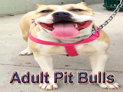 adult Pit Bull pictures