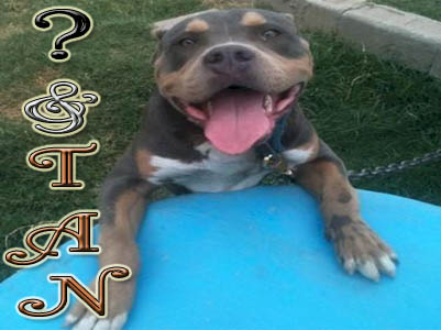 And Tan Pit Bull pictures