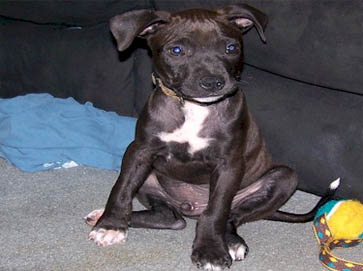black Pit Bull puppy pictures 10