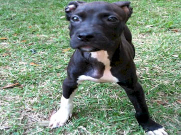 black Pit Bull puppy pictures 11