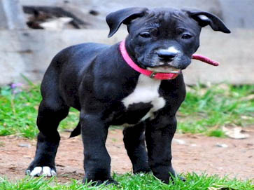 black Pit Bull puppy pictures 12