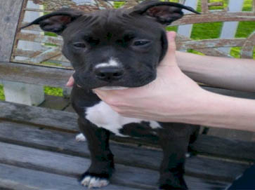 black Pit Bull puppy pictures 15