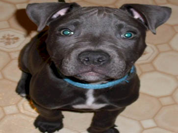 black Pit Bull puppy pictures 18