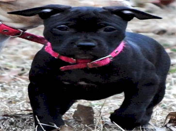 black Pit Bull puppy pictures 3