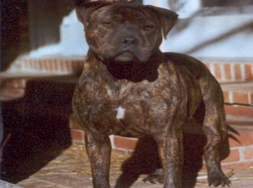 brindle Pit Bull pictures 9
