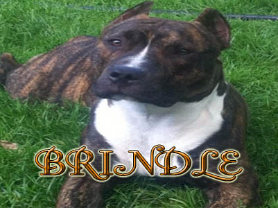 Brindle Pit Bull pictures