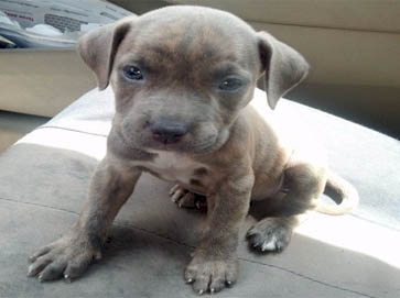 brindle Pit Bull puppy pictures 14