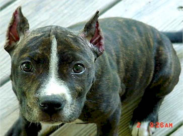 brindle Pit Bull puppy pictures 15