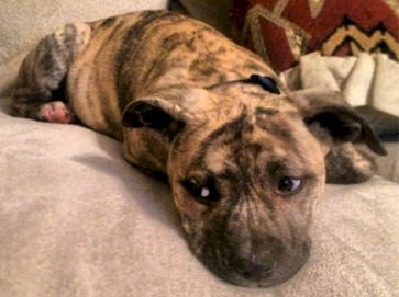 brindle Pit Bull puppy pictures 3