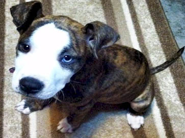 brindle Pit Bull puppy pictures 6