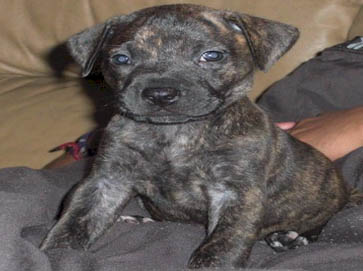brindle Pit Bull puppy pictures 8