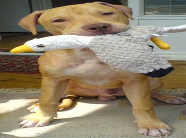 brown Pit Bull pictures 9