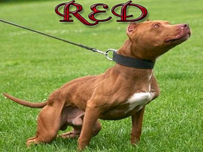 Red Pit Bull pictures