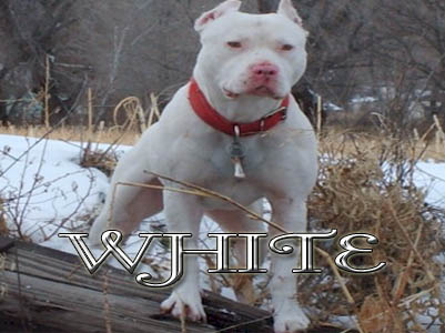 White Pit Bull pictures